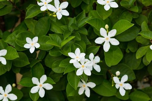 fleurir le jasmin de Madagascar