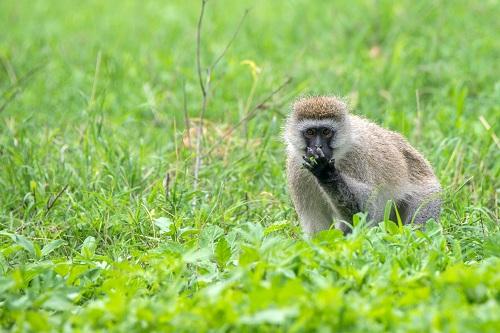 le singe de Madagascar