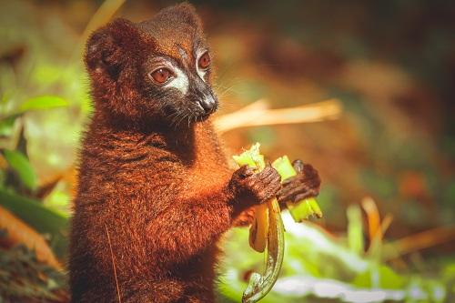 Le mystère du lémurien de Madagascar
